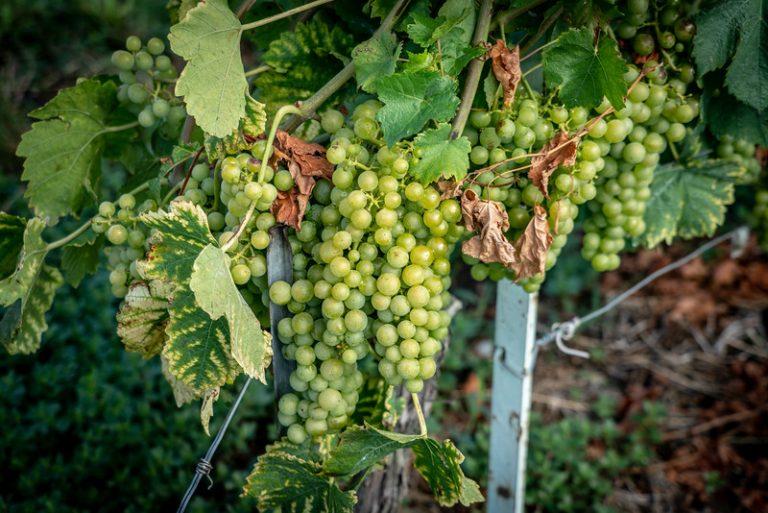La uva Chasselas cultivada por la mayoría de los viñedos en Lavaux, Suiza