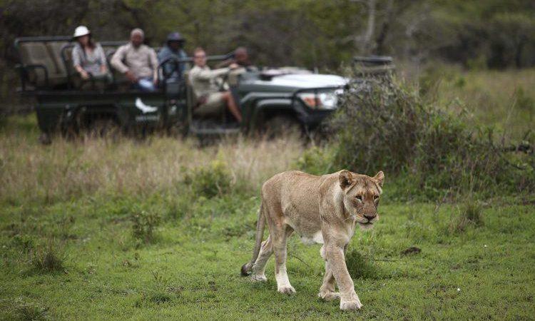 Urlauber im Phinda Reservat beobachten einen Löwen auf Pirschfahrt