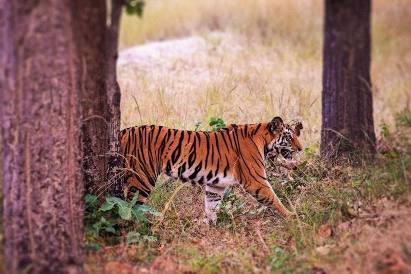 Safaris de Tigres en India: una guía para ver el tigre de Bengala
