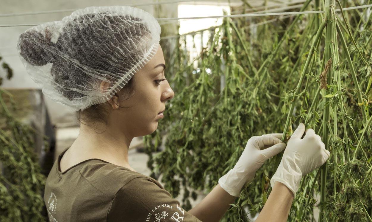 benficios semilla cannabis