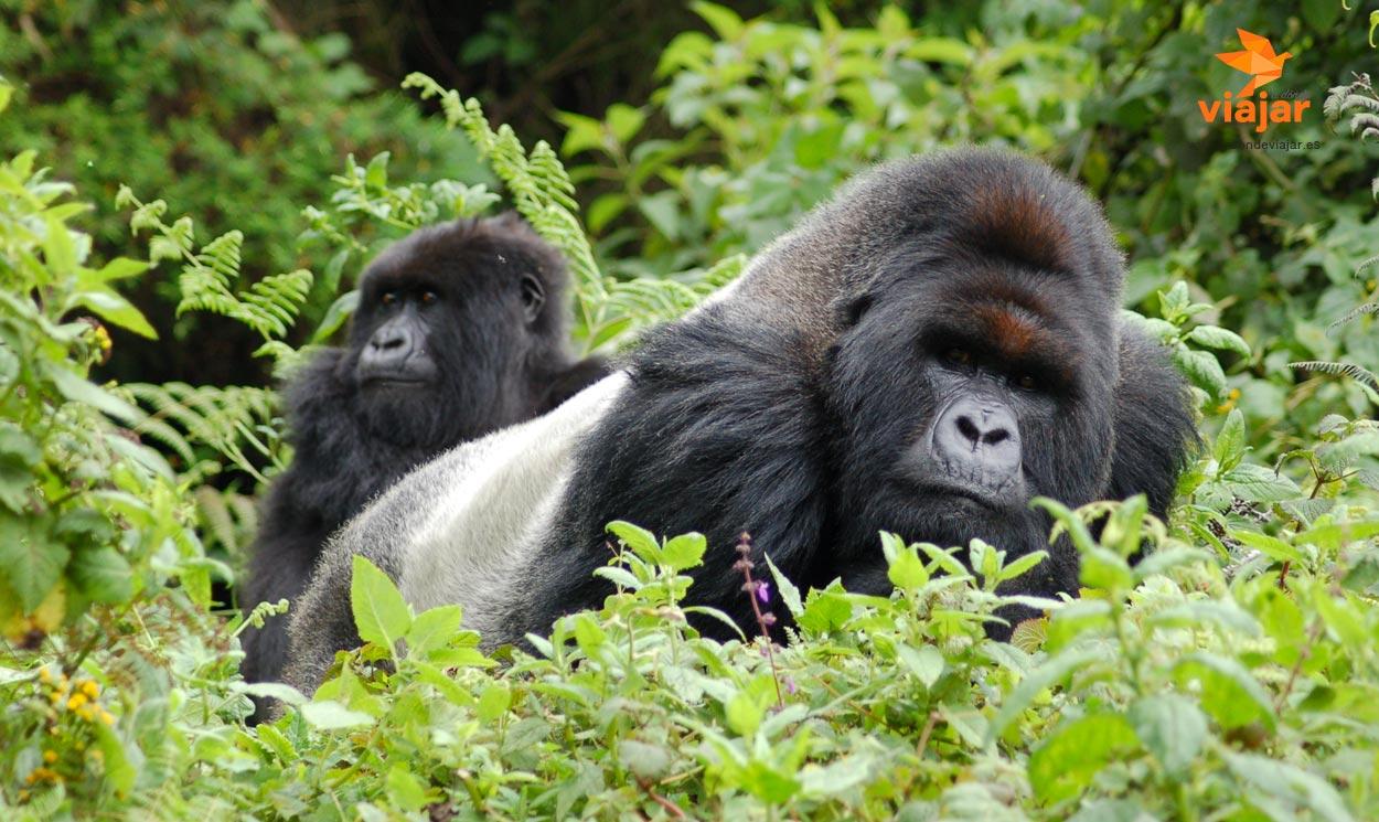 Trekking entre Gorilas de espalda plateada en Uganda