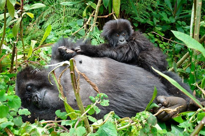 Pautas para un safari del gorilas de espalda plateada